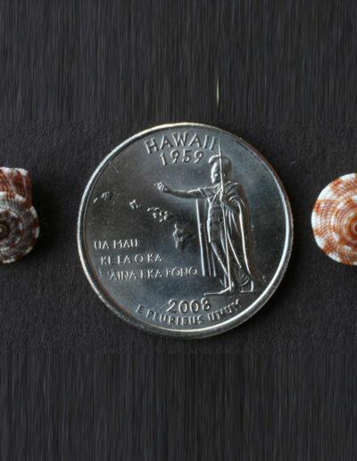kauno'o shells